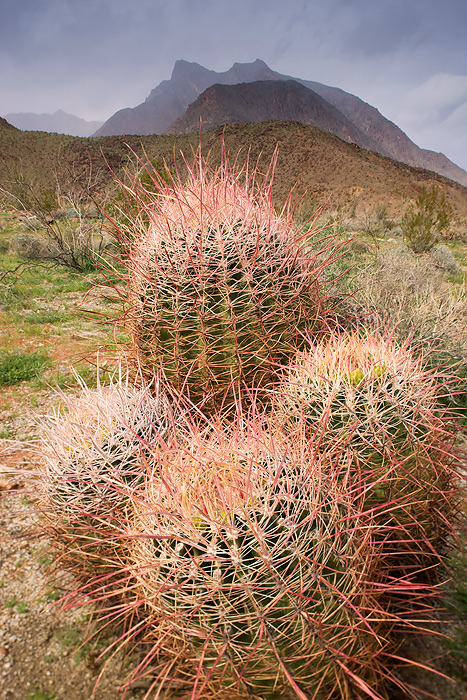 Southwestern Barrel Cactus (Ferocatus wislizenii) and the mountains near Hellhole Canyon during a storm, Anza-Borrego Desert State Park, California.
