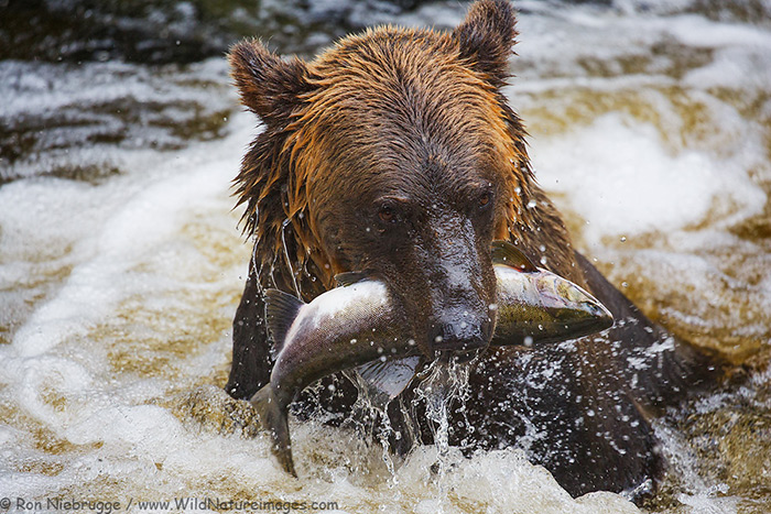 Brown Bear, Anan Creek Bear Observatory, Alaska.
