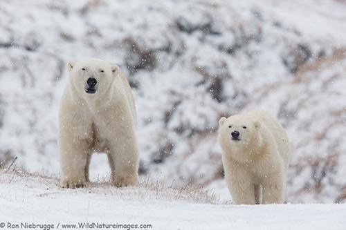 Alaska Polar Bears
