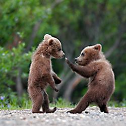 Bear - Alaska Photo Tours
