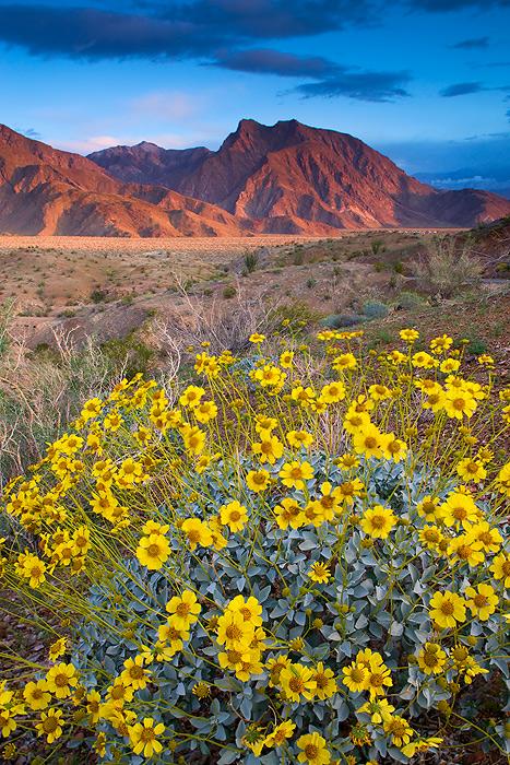 Looking into Hellhole Canyon with Brittlebush (Encelia farinosa) wildflowers in Anza-Borrego Desert State Park, California.