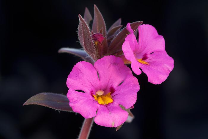 Yellow-Throat Monkeyflower, Anza-Borrego Desert State Park, California.