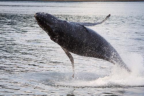 Humpback whale, Tongass National Forest, Alaska